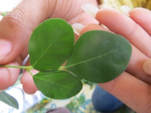 Welcome on this blog from Moringa Cambodia