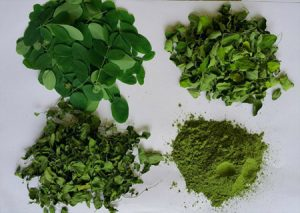 The art of drying Moringa leaves