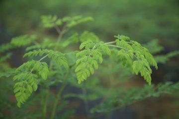 Moringa-Organic-Cambodia-harvest