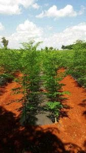 Making money through Moringa farming