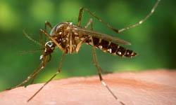 Moringa Oleifera against Malaria