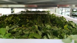 Organic-Moringa-leaves-drying