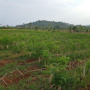 so-far-as-Organic-Moringa-Trees